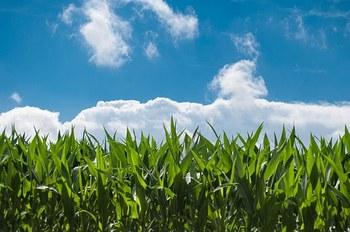 corn-field-440338__340.jpg